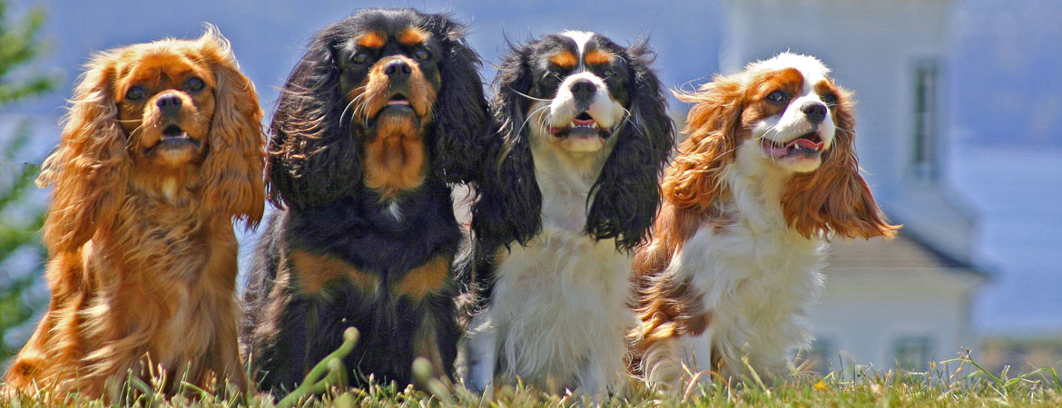 9 Regal Facts About the Cavalier King Charles Spaniel